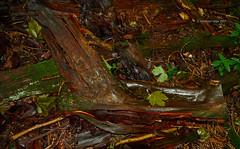 Fallen wet branch, floating leave and snail (Modesto Vega) Tags: nikon nikond600 d600 fullframe wet leave mojado hojadearbol snail caracol wood madera branch fallenbranch texture textura