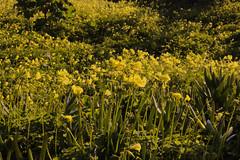 Flores amarillas (José Álvarez Vera) Tags: lanscape paisaje chile elquisco nature wild naturaleza