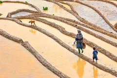 _U1H1033 Dế Xu Phình,Mù Cang Chải,Yên Bái 0617 (HUONGBEO PHOTO) Tags: canoneos1dsmarkiii ef100400mmf4557lisusm yênbái mùcangchải dếxuphình countryside asian dog northwestvietnam hmongpeople view terraces highland outdoor