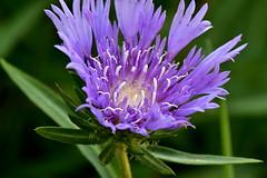 Purple Flower Macro (thatSandygirl) Tags: purple flower blossom bloom floral macro lavender white knoxcountychildrensgarden mountvernon ohio summer june closeup texture stamen pistil petals