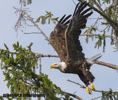Bald Eagle takeoff (Mike Black photography) Tags: bald eagle eaglet bird nature big year birding raptor canon mike black nj new jersey shore photo photography trees belmar shark river white feathers flying green nest