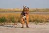 1C6A5009 (andreyshkvarchuk) Tags: doguedebordeaux dog mastiff