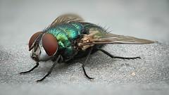Goldfliege (Lucilia) beim Sonnenbad (AchimOWL) Tags: tier tiere animal makro macro outdoor dmcgx80 gx80 natur nature lumix panasonic postfocus ngc macrodreams schärfentiefe wildlife stack schmeisfliege calliphoridae fliege fly zweiflügler diptera greenbottlefly