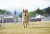 _MG_9960 (Corey Polis) Tags: akc coursing dogsports fastcat july302017 mushu nwrrc sequim