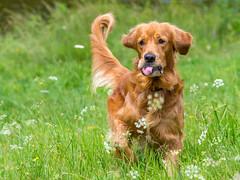_7242992.jpg (sylvain.collet) Tags: jipeg chien joke tongue farce nature dog goldenretriever languedocroussillon correze france happy olympus