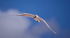 libre et au dessus (rondoudou87) Tags: pentax k1 smcpda300mmf40edifsdm sauvage libre free bird oiseau mer océan sky ciel bleu blue flying