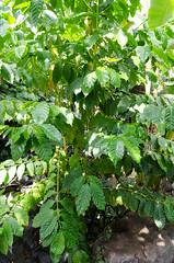 Coffee Tree (Josh Thompson) Tags: 1855mmf3556g coffee d7000 garfieldparkconservatory