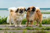 _DSC3954 (durr-architect) Tags: tibetan spaniels oostvaardersdijk almere companion dog