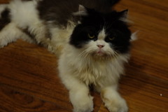 Vincent the Cat (Ex-earthshaker) Tags: cat persiancat animal pet