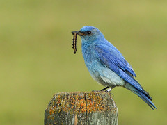 01 Here comes dessert! (annkelliott) Tags: alberta canada swofcalgary nature wildlife ornithology avian bird birds mountainbluebird sialiacurrucoides turdidae sialia male adult sideview perched fencepost lichen secondsetofbabies grass field bokeh outdoor summer 20july2017 fz200 fz2004 annkelliott anneelliott ©anneelliott2017 ©allrightsreserved