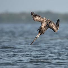 Going In! (PeterBrannon) Tags: bird brownpelican florida nature pelecanusoccidentalis pelicans water wildlife landing ocean splash