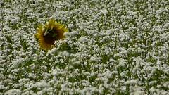 Tournesol & sarrasin (Raymonde Contensous) Tags: tournesol sarrasin nature fleurs auvergne