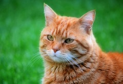 Zarpazos (En memoria de Zarpazos, mi valiente y mimoso tigre) Tags: zarpazos gattuso gatopelirrojo dep cat gattoarancione ginger orangetabby gatofeliz gatolibre gattorosso gatoatigradonaranja