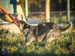 P7152013 (Songdog Studios) Tags: green dog neumond womensretreat 2017 k9 schutzhund ipo