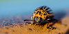 Beetle (joost gressie) Tags: macro beetle tracks rust 90mm nikon contrast collor