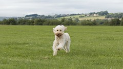 30/52 ... Fun with her Chuckit ball (Explored) (Chickpeasrule) Tags: evie ball chuckit fetch play field landscape cloudy dog pet goldendoodle