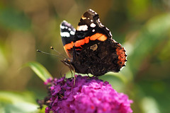 big butterfly count 2017 (part 2) (Johnson Cameraface) Tags: 2017 july summer olympus omde1 em1 micro43 zd zuiko macro 50mm f2 johnsoncameraface redadmiral butterfly bigbutterflycount buddleia southyorkshire doncasterlakeside