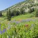 Wildflower Season in Albion Basin