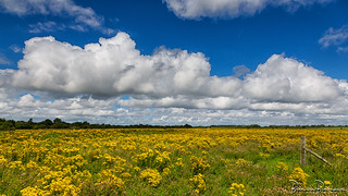 Clouds over a field Ragwort (Jacobaea vulgaris)