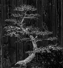 Little Tree Wood, Big Tree Wood (FotoGrazio) Tags: botany californiaphotographer elm elmtree sandiegophotographer sandiegozoosafaripark ulmusparvfiolia waynegrazio waynesgrazio worldphotographer art artofphotography blackandwhite bonsai botanical branches contrast fence fineart fotograzio highcontrast leaves nature ornamental phototoart plant stilllife texture tiny tinytree tree treetrunk wood wooden