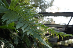 Spores (Yu-wen Huang0718) Tags: spores green beauty nature day fern leaf light outdoors plant sunlight shadow