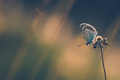 Ready To Fly (der_peste) Tags: butterfly bokeh dof blur summer insect hollyblue sonya7m2 sel2470gm proxy macro