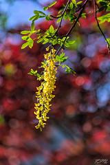 Yellow Garland (fs999) Tags: 100iso fs999 fschneider aficionados zinzins pentaxist pentaxian pentax k1 pentaxk1 fullframe justpentax flickrlovers ashotadayorso topqualityimage topqualityimageonly artcafe pentaxart corel paintshop paintshoppro x9ultimate paintshopprox9ultimate masterphotos fleur flower blume bloem macrolife macro makro pentaxda200mmf28edsdm da200 dastar sdm 200mm