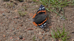 20170714 Wlk frm Clumber_0093 Red Admiral Butterfly (paul_slp5252) Tags: nottinghamshire clumberpark redadmiralbutterfly butterfly