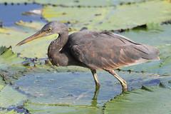 Pacific reef heron (bilska.anna) Tags: annabilska canon bird birds aves avian heron nature wildlife birdporn bali