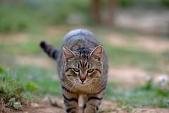 Deadly predator! (eddcellentcats) Tags: cat cats kitty kittycat nikon d750 sigma sigmalens eddcellenttigger