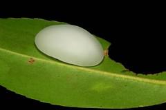 "Limacodid Slug Caterpillar (Cup Moth, Limacodidae) ""Jelly Bean"" (John Horstman (itchydogimages, SINOBUG)) Tags: insect macro china yunnan itchydogimages sinobug moth lepidoptera cup limacodidae caterpillar larva slug jelly bean jellybean white black fbl"