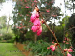 Decorative plum blossom in early July (Su_G) Tags: 2017 sug decorativeplumblossom plumblossom decorative blossom flowerblossom prunus decorativeplum flowerbuds earlyjuly early earlyflowering earlyflowers plantvariation sydneynsw sydneyaustralia sydneysuburbs