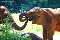 Mama and Baby Elephant (Sage Girl Photography) Tags: elephant mother baby affection zoo captivity wild wildlife nczoo trunks asheboro northcarolina summer july nature outdoors mom love