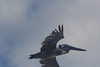 IMG_4766 (armadil) Tags: mavericks beach beaches californiabeaches bird birds pelican pelicans flying