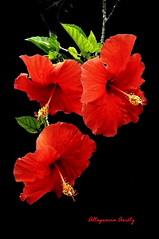Hibiscos/Hibiscus (Altagracia Aristy Sánchez) Tags: hibiscos hibiscus cayenas laromana quisqueya repúblicadominicana dominicanrepúblic caribe caribbean caraïbe antillas antilles trópico tropic américa fujifilmfinepixhs10 fujifinepixhs10 fujihs10 altagraciaaristy