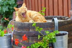 Sooo Müde - Sooo Tired (ivlys) Tags: odenwald vesteotzberg hering katze cat tier animal gähnen yawning fass barrel blumen flowers blüte blossom natur nature ivlys