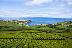 Tea plantations (Alvaro RP) Tags: tea plantation chá gorreana fiel campo cultivo tierra costa mar atlantico azores verde blue te crop lines