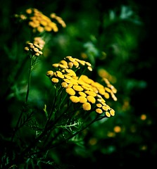 Golden Pillows (barbara_donders) Tags: bloem flower wildflower wildebloem groen green yellow geel gouden kussens nature natuur bokeh mooi beautifull prachtig magical