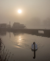 Swan, Sun and Mist (Julian Barker) Tags: mute swan fog mist sun diffused atmosphere atmospheric beeston marina rylands nottingham east midlands uk nottinghamshire river trent sunrise dawn contre jour low light morning hurried canon dslr 600 julian barker