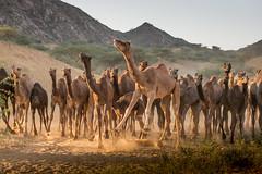 PushkarCamelFair_220 (SaurabhChatterjee) Tags: camel cattlefair desert desertsafari festivalsofindia festivalsofrajasthan pushkar pushkarcattlefairimages pushkarimages pushkarmela pushkarrajasthan saurabhchatterjee siaphototours siaphotographyin