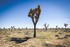 Alone? (Fajar Pangestu) Tags: joshuatree nationalpark leica leicadlux109 california usa america nationalgeographic ngc explore travel trip desert sky blue