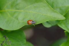Macro-LadyBugs_106 (ZieBee Media) Tags: ladybug garden