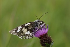 Marbled White (Melanargia galathea) (R.Miller1979) Tags: marbled white butterfly butterflies lepidoptera flora flower wildflower wildflowers close up bokeh meadows meadow grassland melanargia galathea wildlife nature purple black green markings