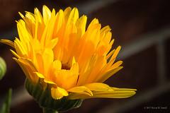 Kiss of the Morning Sun (Back Road Photography (Kevin W. Jerrell)) Tags: flowers yellow nikond7200 closeups macro macrolife summer backyardphotography macrofilters nature naturallight morninglight