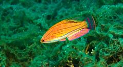 Flasher Wrasse (PacificKlaus) Tags: malapascua visayas cebu philippines underwater ocean nature scuba diving carpentersflasher paracheilinuscarpenteri wrasse fish male
