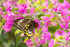 Birdwing butterfly (Jennie Stock) Tags: ornithopteraeuphorion farnorthqueensland daintreevillage cairnsbirdwingbutterfly