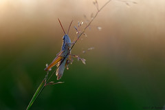 Bokeh d'un soir (jpto_55) Tags: insecte criquet macro bokeh xe1 fuji fujifilm france hautegaronne ngc