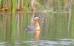 "Red-necked Grebe <a style=""margin-left:10px; font-size:0.8em;"" href=""http://www.flickr.com/photos/72964621@N02/35237610653/"" target=""_blank"">@flickr</a>"
