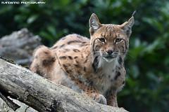 Eurasian lynx - Dierenrijk (Mandenno photography) Tags: dierenpark dierentuin dieren animal animals lynx luchs european europese dierenrijk bigcat big cat