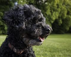 Kirra (Markus Jansson) Tags: kirrathedog kirra dog poodle toypoodle park evening happy